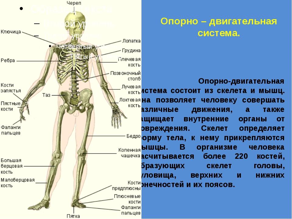 Опорно – двигательная система. Опорно-двигательная система состоит из скелета...