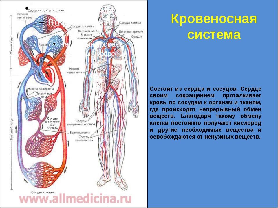 Кровеносная система Состоит из сердца и сосудов. Сердце своим сокращением про...