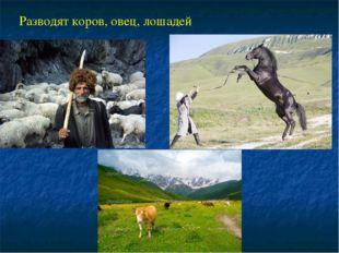 Разводят коров, овец, лошадей