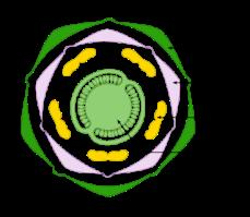 D:\Desktop\367px-Diagramme_floral_Solanum_tuberosum-tag.svg.png