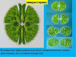 В планктоне причудливостью могут похвастаться не только диатомовые, но и зелё