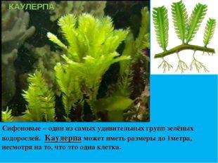 Сифоновые – одни из самых удивительных групп зелёных водорослей. Каулерпа мож