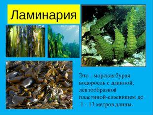 Ламинария Это - морская бурая водоросль с длинной, лентообразной пластиной-сл