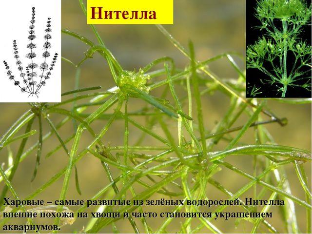 Харовые – самые развитые из зелёных водорослей. Нителла внешне похожа на хвощ...
