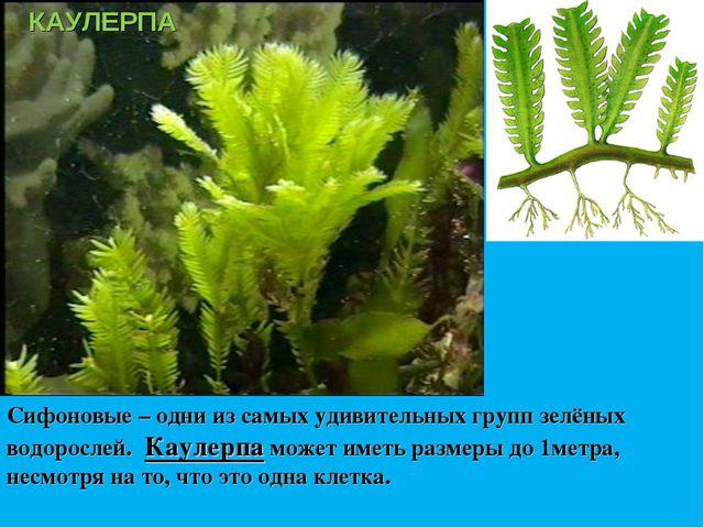 Сифоновые – одни из самых удивительных групп зелёных водорослей. Каулерпа мож...