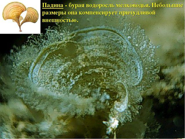 Падина - бурая водоросль мелководья. Небольшие размеры она компенсирует причу...