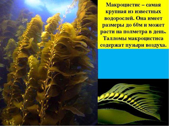 Макроцистис – самая крупная из известных водорослей. Она имеет размеры до 60м...