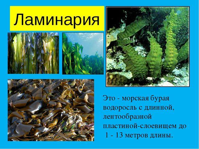 Ламинария Это - морская бурая водоросль с длинной, лентообразной пластиной-сл...
