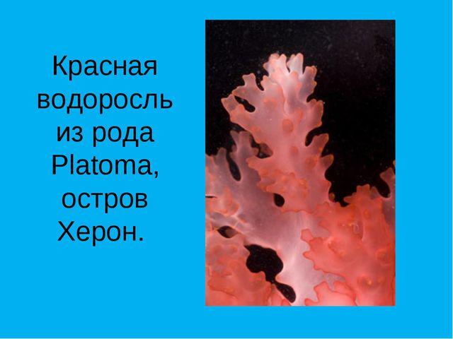 Красная водоросль из рода Platoma, остров Херон.
