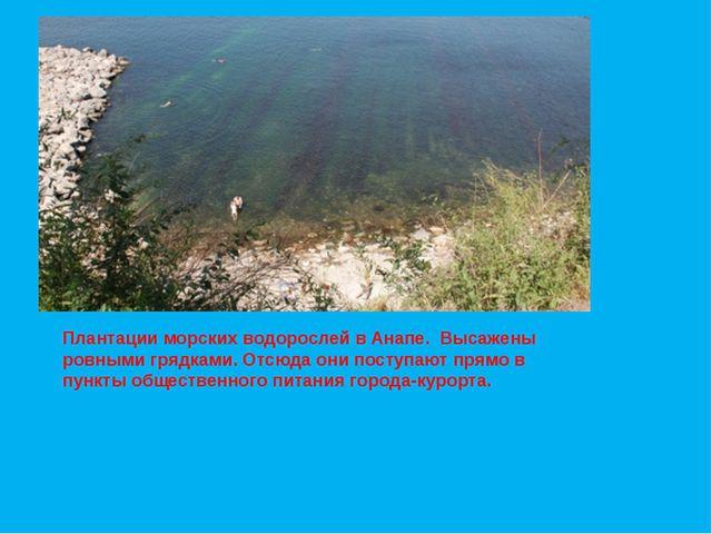 Плантации морских водорослей в Анапе. Высажены ровными грядками. Отсюда они п...