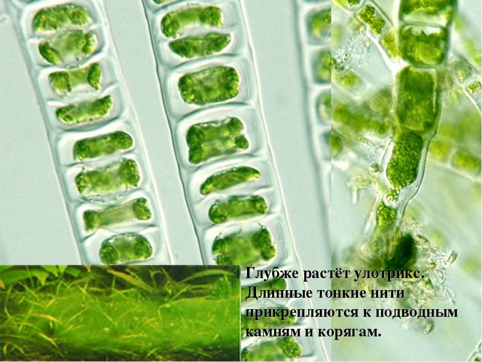 картинка улотриксовые водоросли некоторых них даже