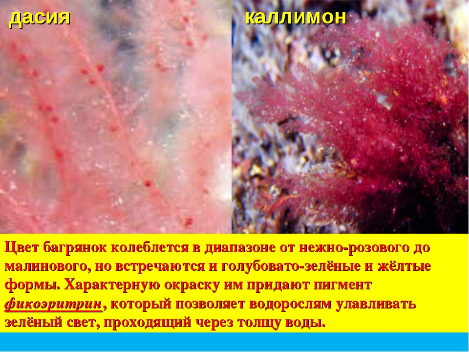 Цвет багрянок колеблется в диапазоне от нежно-розового до малинового, но встр...