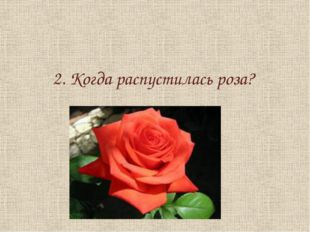 2. Когда распустилась роза?