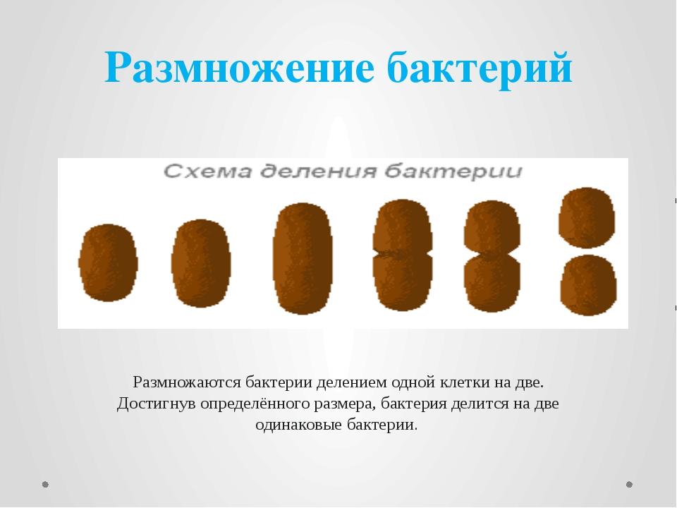 Размножение бактерий Размножаются бактерии делением одной клетки на две. Дост...
