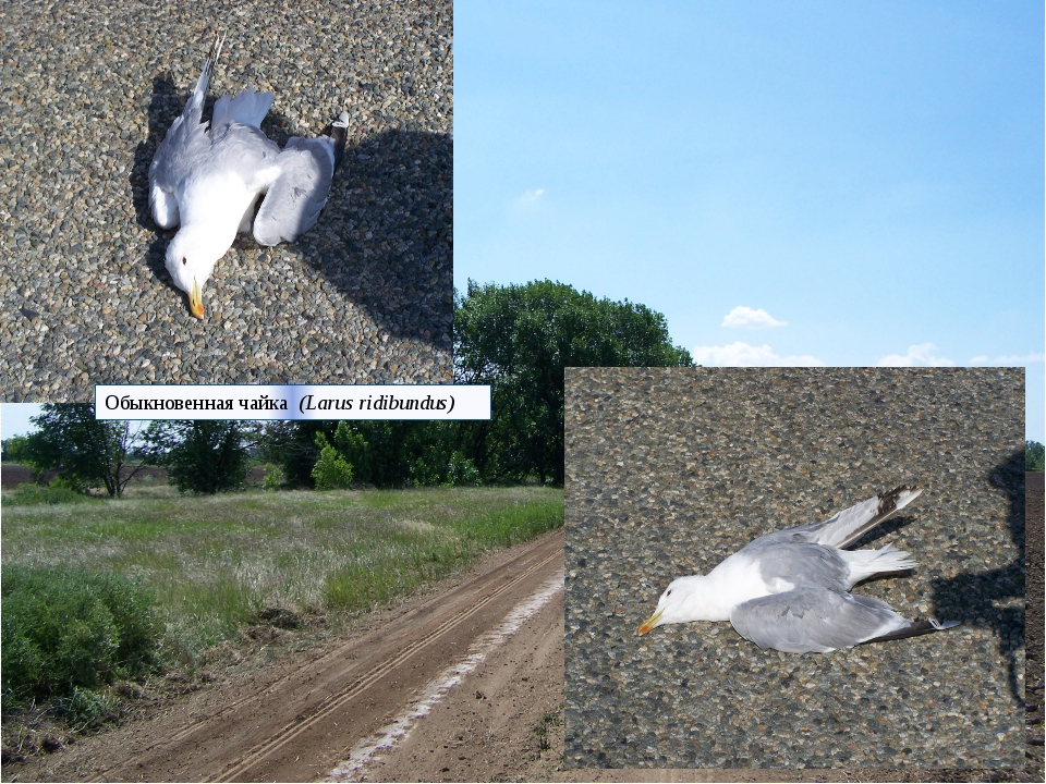 Обыкновенная чайка (Larus ridibundus)