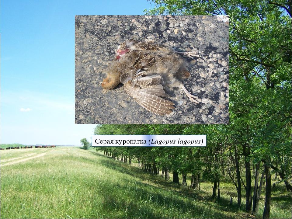 Серая куропатка (Lagopus lagopus)