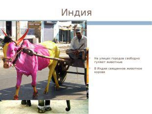 Индия На улицах городов свободно гуляют животные В Индии священное животное к