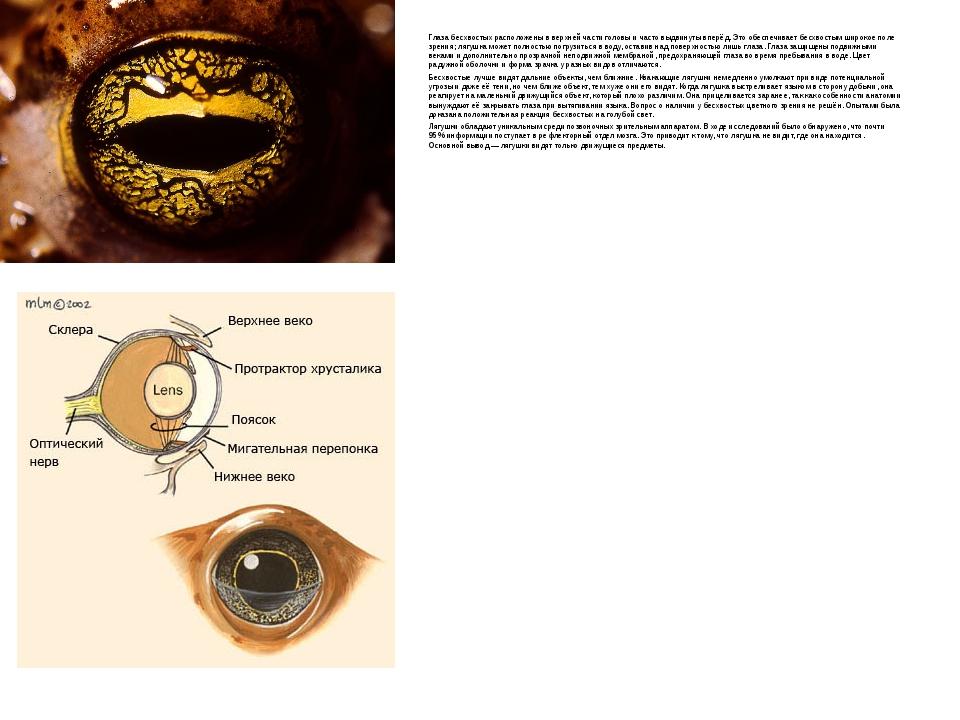 Глаза бесхвостых расположены в верхней части головы и часто выдвинуты вперёд....