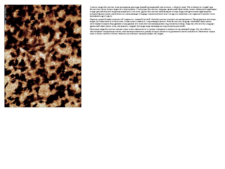 У многих видов бесхвостых кожа проницаема для воды (самый проницаемый участок...