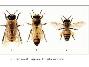 1 — трутень, 2 — царица, 3 — рабочая пчела.