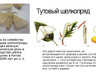 Тутовый шелкопряд Бабочка из семейства настоящие шелкопряды, играющая важную