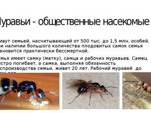Муравьи - общественные насекомые Живут семьей, насчитывающей от 500 тыс. до 1