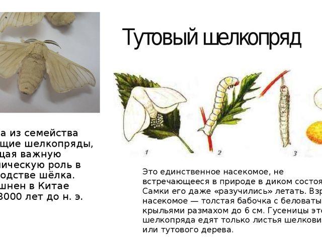 Тутовый шелкопряд Бабочка из семейства настоящие шелкопряды, играющая важную...