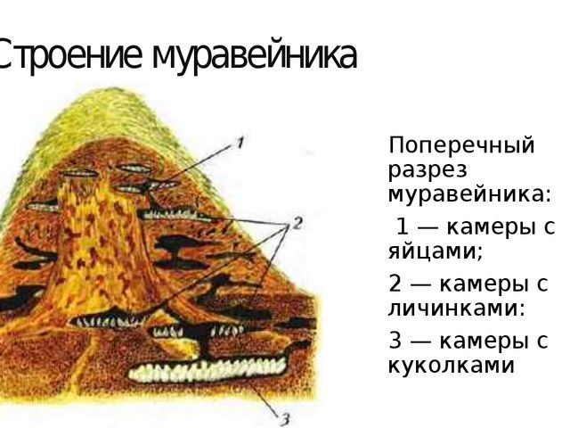 Строение муравейника Поперечный разрез муравейника: 1 — камеры с яйцами; 2 —...