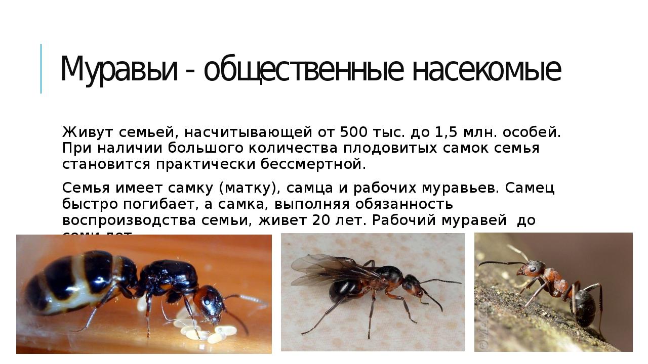 Муравьи - общественные насекомые Живут семьей, насчитывающей от 500 тыс. до 1...
