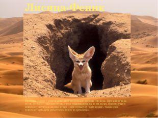 Лисица-Феник Пустыня Сахара - родной дом самой маленькой лисицы - фенека. При