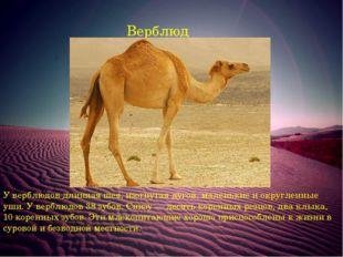Верблюд У верблюдов длинная шея, изогнутая дугой, маленькие и округленные уши