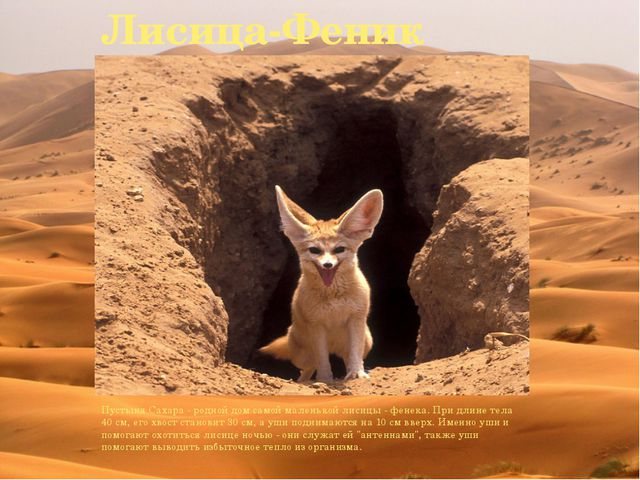 Лисица-Феник Пустыня Сахара - родной дом самой маленькой лисицы - фенека. При...
