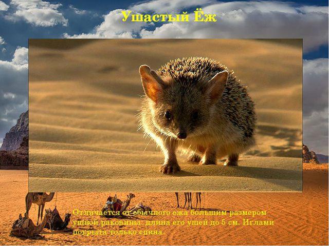Ушастый Ёж Отличается отобычного ежабольшим размером ушной раковины: длина...
