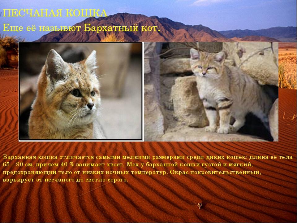 ПЕСЧАНАЯ КОШКА Еще её назывют Бархатный кот. Барханная кошка отличается самым...