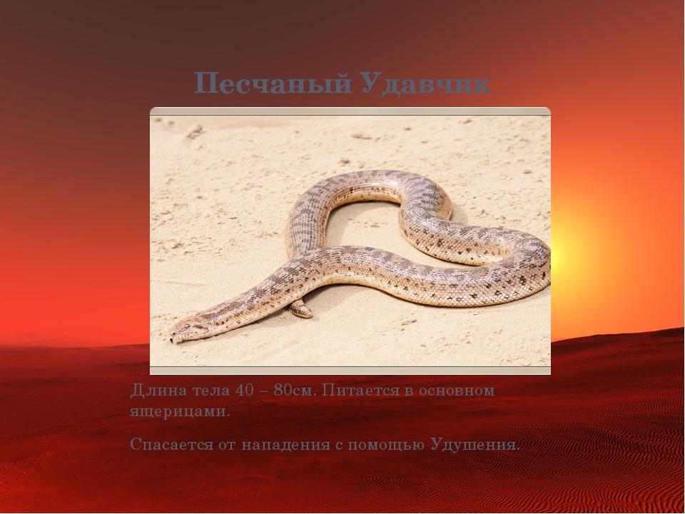 Песчаный Удавчик Длина тела 40 – 80см. Питается в основном ящерицами. Спасает...