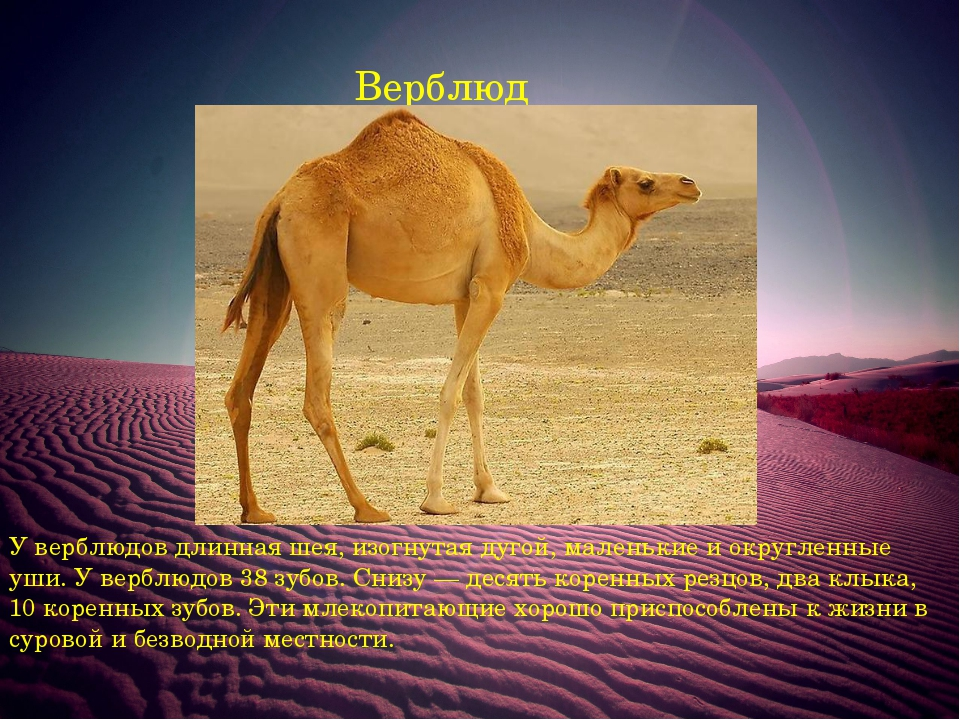 Верблюд У верблюдов длинная шея, изогнутая дугой, маленькие и округленные уши...