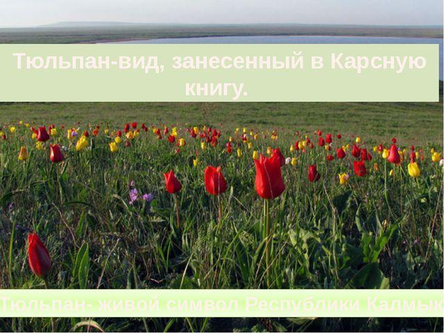 Тюльпан-вид, занесенный в Карсную книгу. Тюльпан- живой символ Республики Кал...