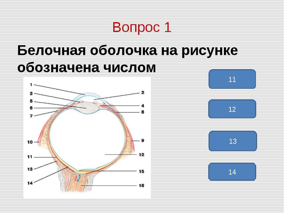 Вопрос 1 Белочная оболочка на рисунке обозначена числом 13 12 11 14