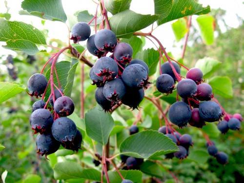 плоды ирги круглолистной