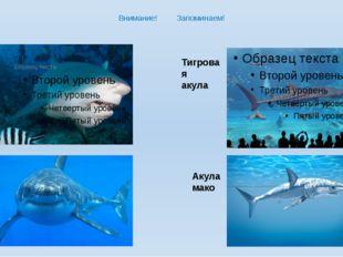 Внимание! Запоминаем! Акула бык Белая акула Тигровая акула Акула мако