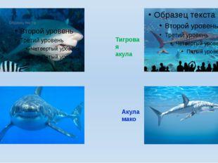 Акула бык Белая акула Тигровая акула Акула мако