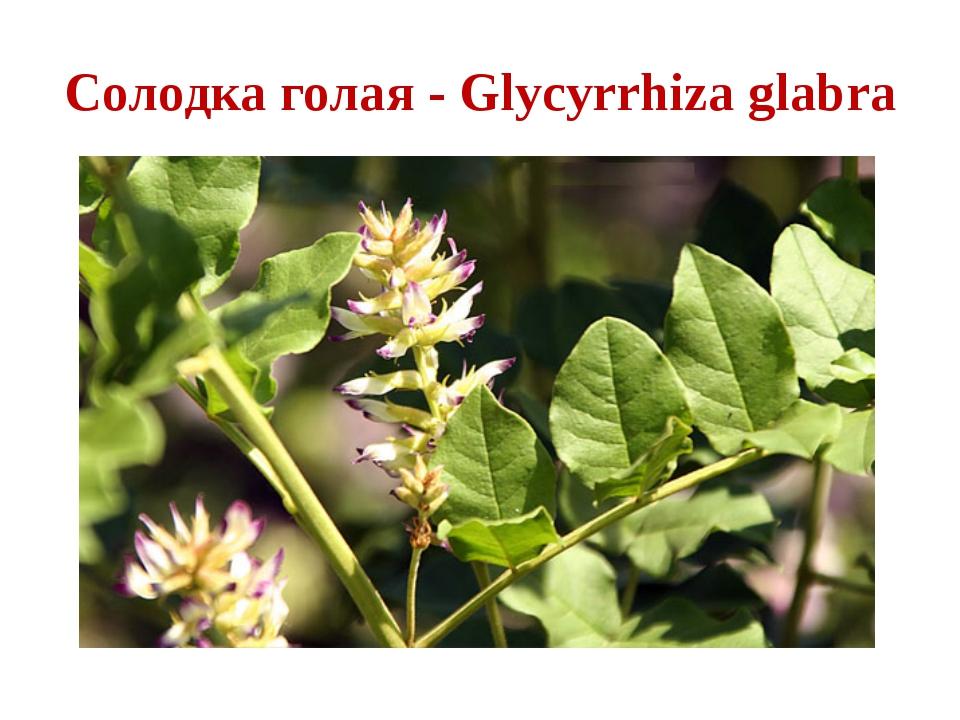 solodka-golaya-osnovnie-bav-v-sostave-sirya