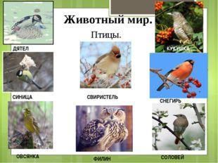 Животный мир. Птицы. ДЯТЕЛ СИНИЦА ФИЛИН СВИРИСТЕЛЬ ОВСЯНКА СНЕГИРЬ СОЛОВЕЙ КУ