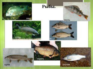 Рыбы. карась карп окунь щука сазан плотва лещ