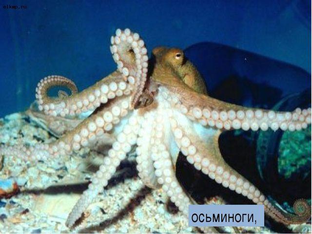осьминоги,