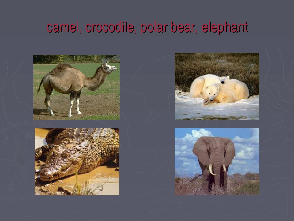 camel, crocodile, polar bear, elephant