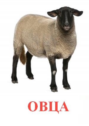 C:\Users\Андрей\Desktop\картинки к уроку\домашние животные\овца.jpg