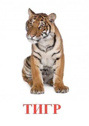 C:\Users\Андрей\Desktop\картинки к уроку\дикие животные\тигр.jpg