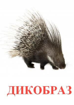 C:\Users\Андрей\Desktop\картинки к уроку\дикие животные\дикобраз.jpg