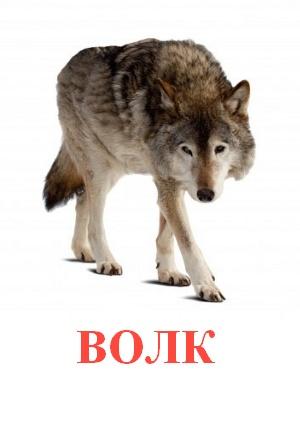 C:\Users\Андрей\Desktop\картинки к уроку\дикие животные\волк.jpg